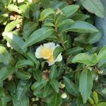 Kwiat krzewu herbacianego