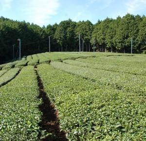 Plantacja herbaty w Ise
