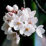 Sakura z bliska