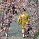 Hanami to takze okazja do odswietnego, tradycyjnego ubioru